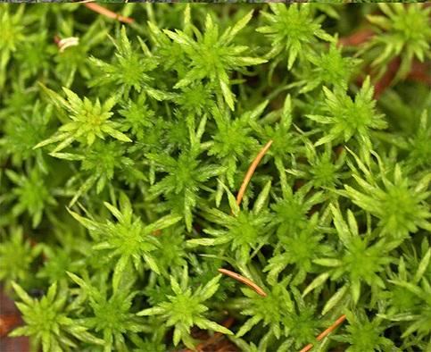 narniasphagnummoss-plant